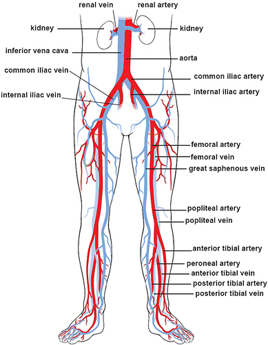 heart-blood-vessels-blood-vessels-illustrations-lower-body-circulation