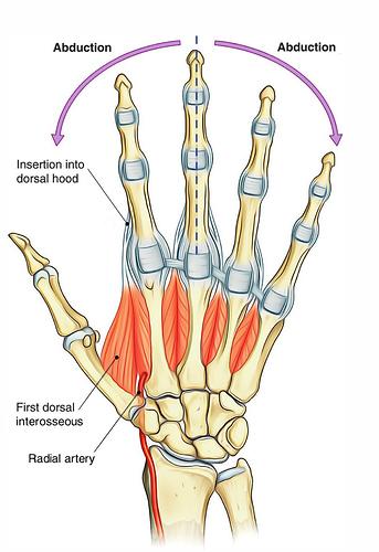 Dorsal-Interossei-hand